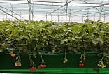 딸기농장 사진